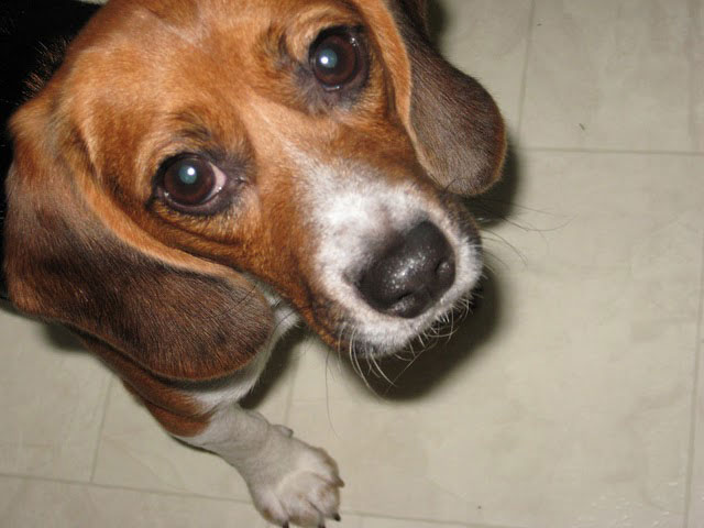Beagle Rescued from Teaching Lab