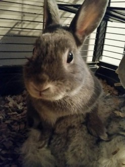 adopt Berry dwarf bunny