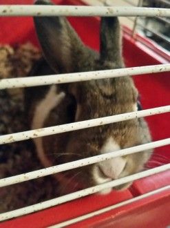 adopt Apple dwarf bunny