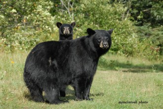 Bear With Us photo - mom and cub