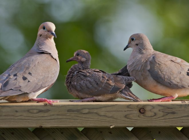 CarolEdwards_mourning_dove_family