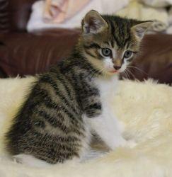 kitten age 6 weeks