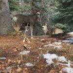 Mule Deer in Cominco Gardens, Kimberley BC