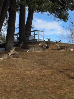 Mule Deer in Cominco Gardens