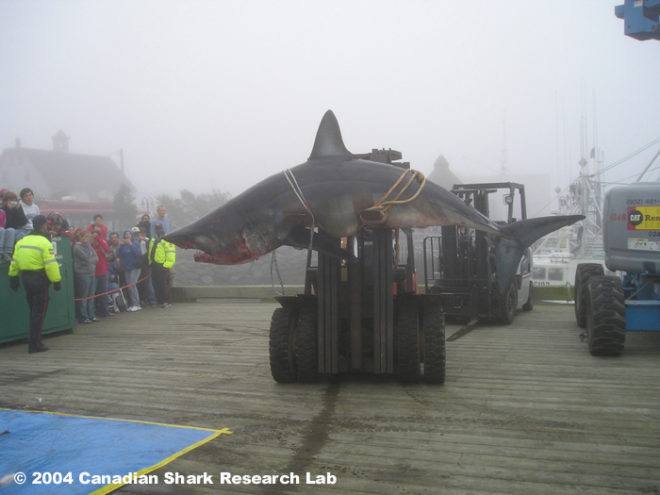 atlantic canada shark killing contest