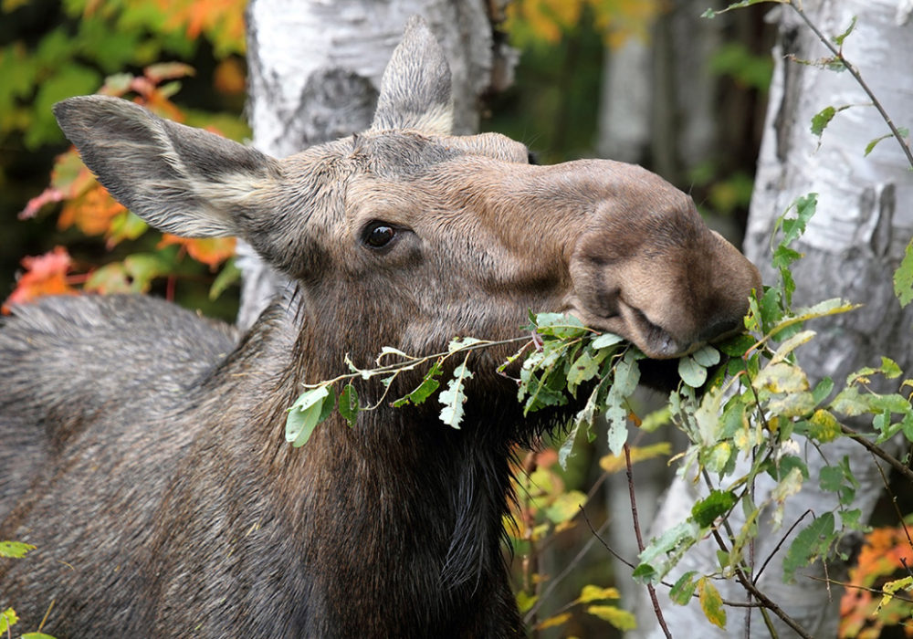 Have your say on Moose in Ontario!