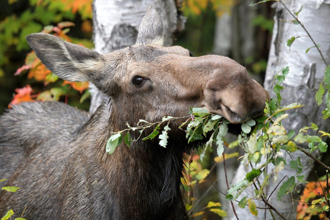 Hungry Moose