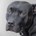 a-black-pitbull