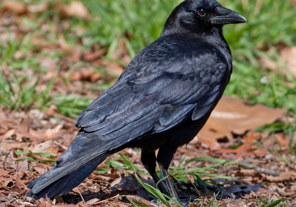 The Crows of Chatham, Ontario, are safe…for now anyway