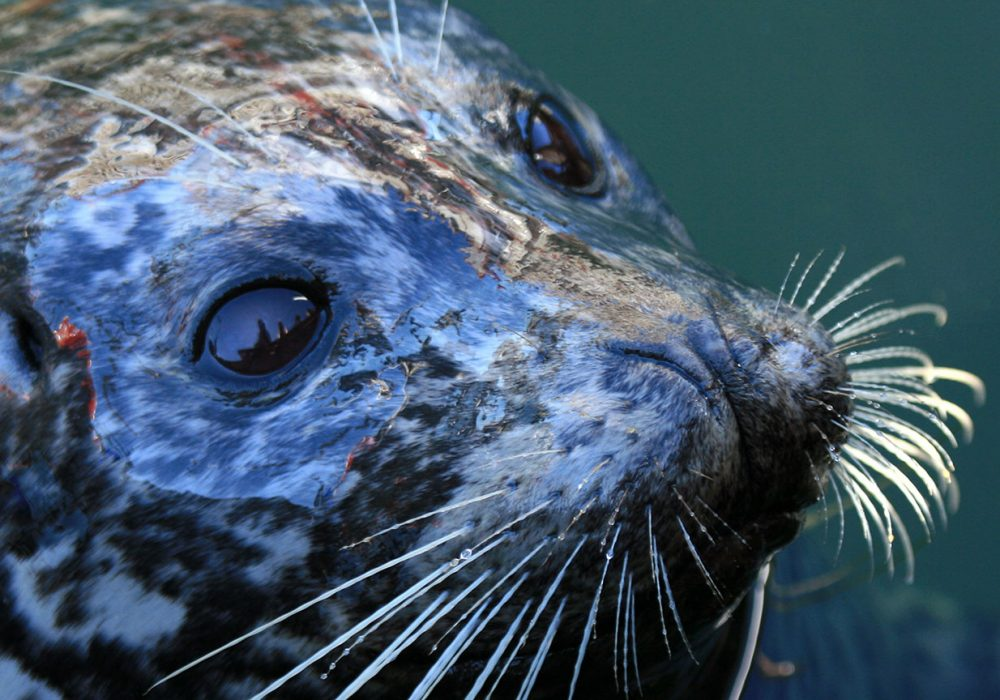 A Seal Hunt on the West Coast?
