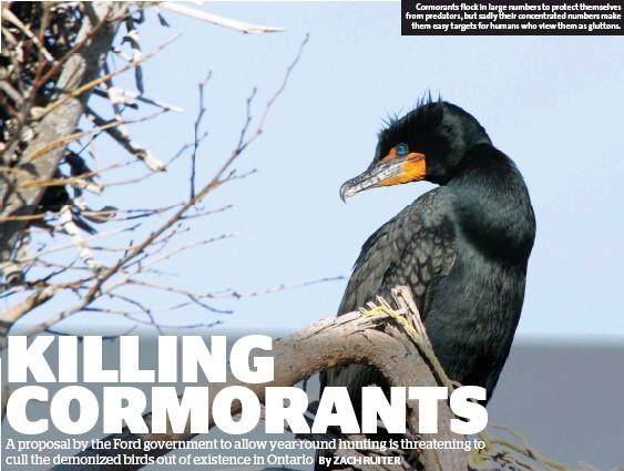 Killing Cormorants